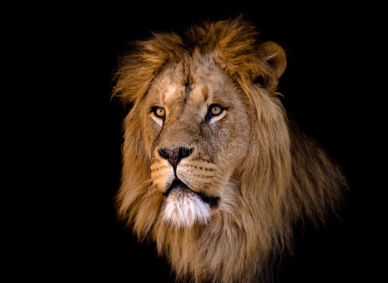 Grote Afrikaanse mannelijke leeuw stock afbeelding