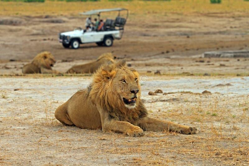 Grote Afrikaanse Mannelijke Leeuw die op de vlaktes met een safarivrachtwagen rusten op de achtergrond, hWANGE nationaal park royalty-vrije stock foto