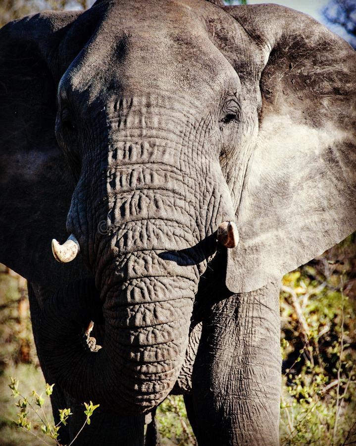 Grote Afrikaanse olifant royalty-vrije stock afbeelding
