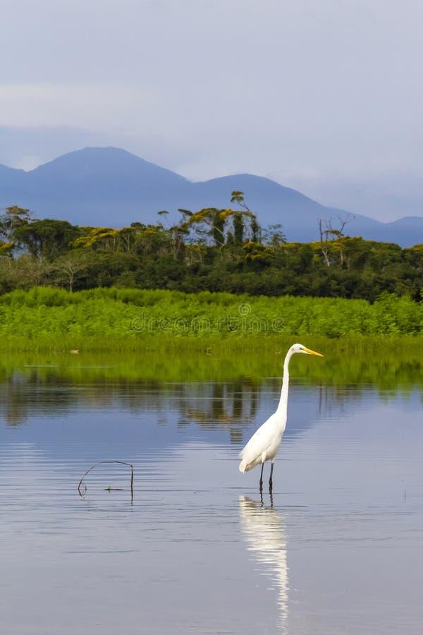 Grote aigrette - alba Ardea - Cano-het Toevluchtsoord van het Zwartewild royalty-vrije stock foto's