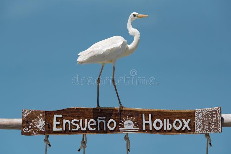 Grote Aigrette Ardea alba op een houten kader, holbox, Mexico stock foto's