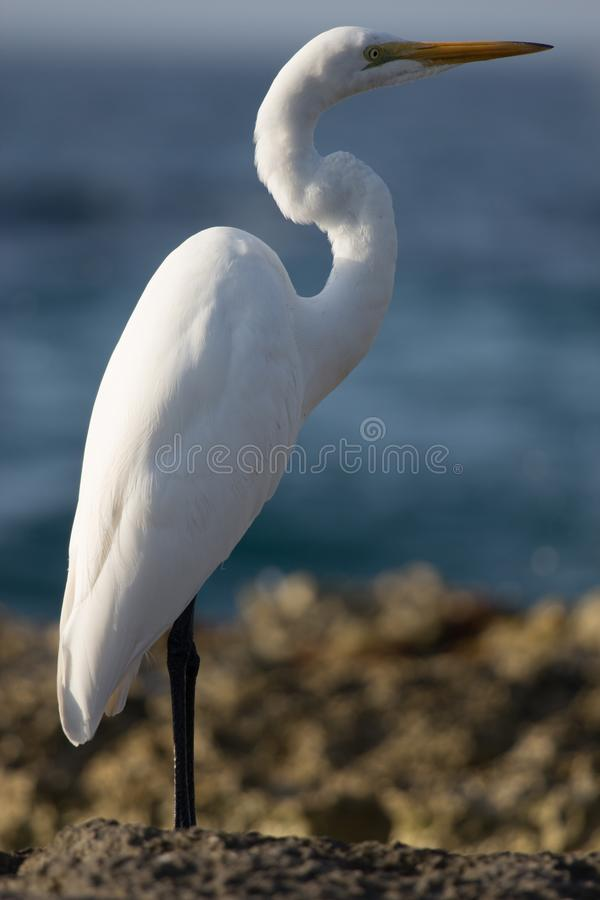 Grote aigrette in Cozumel stock afbeelding