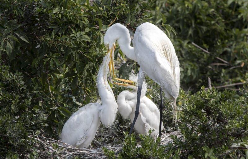 Grote Aigretteroekenkolonie, Pickney-het Toevluchtsoord van het Eilandwild, Zuid-Carolina stock fotografie