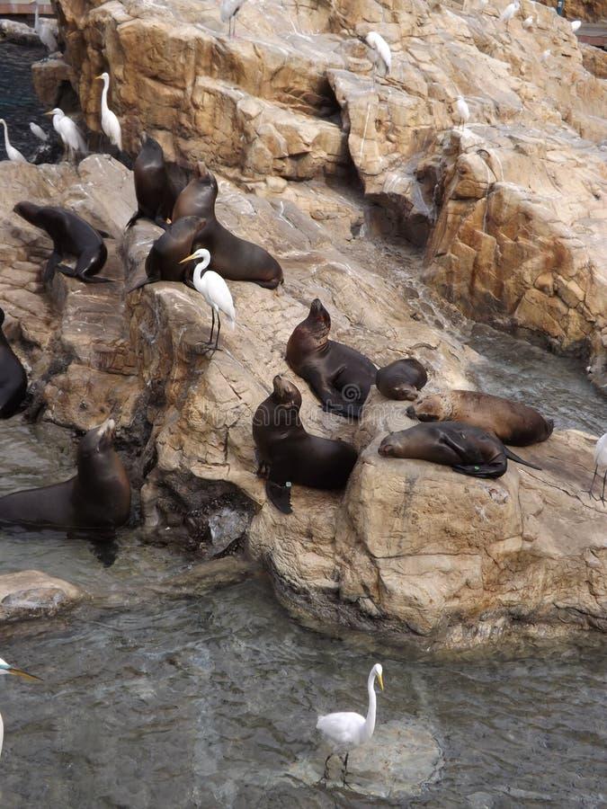 Grote Aigrettes en zeeleeuwen op de rotsen royalty-vrije stock afbeelding