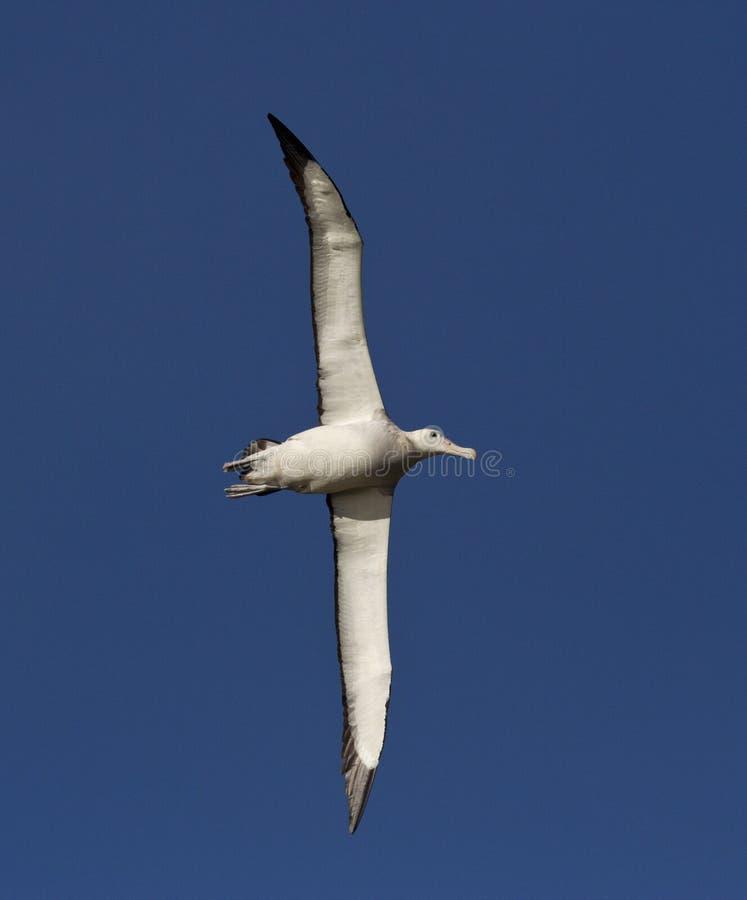 Grote Albatros, snöig (irra) albatross, Diomedea (exulans) royaltyfri foto
