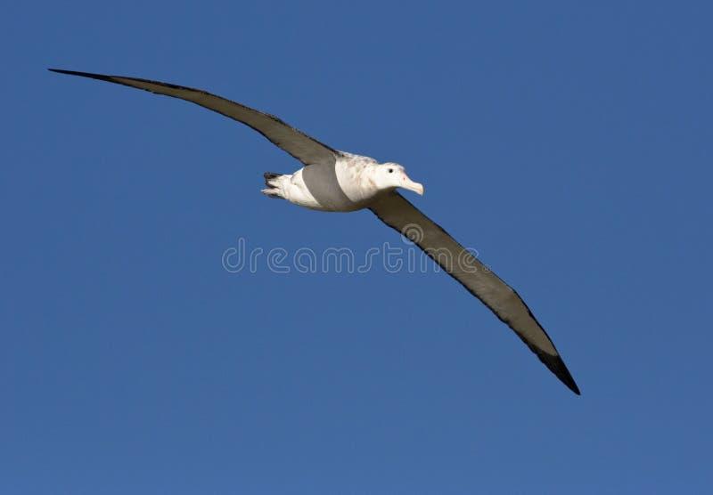 Grote Albatros, snöig (irra) albatross, Diomedea (exulans) royaltyfri bild