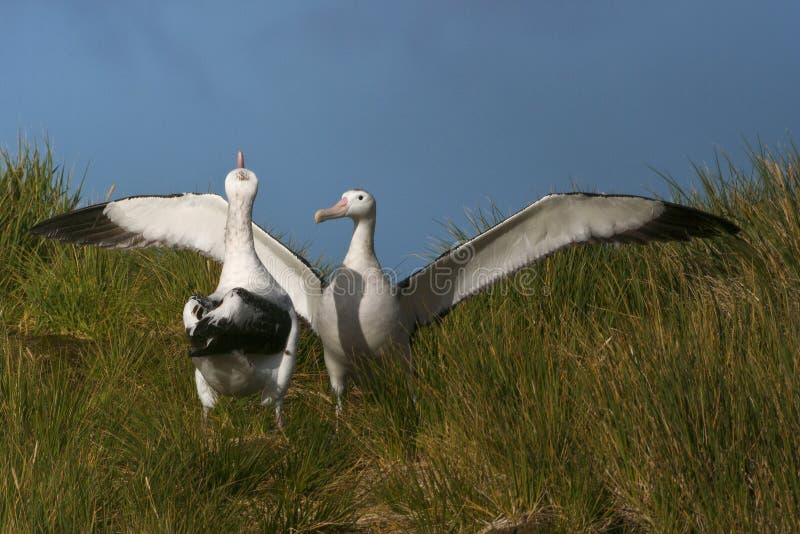 Grote Albatros, snöig (irra) albatross, Diomedea (exulans) arkivbilder