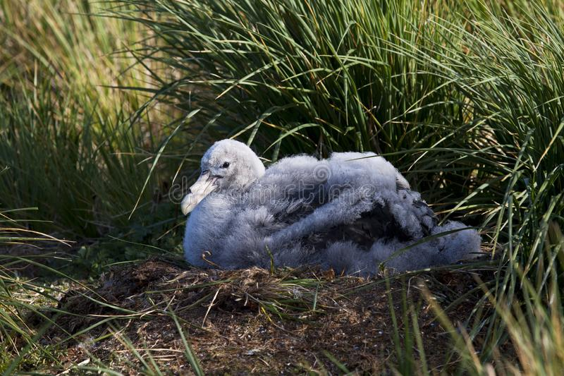 Grote Albatros, snöig (irra) albatross, Diomedea (exulans) royaltyfri fotografi