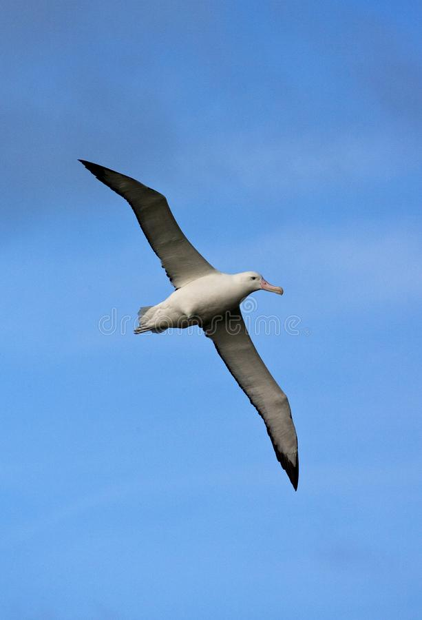 Grote Albatros, snöig (irra) albatross, Diomedea (exulans) royaltyfria bilder