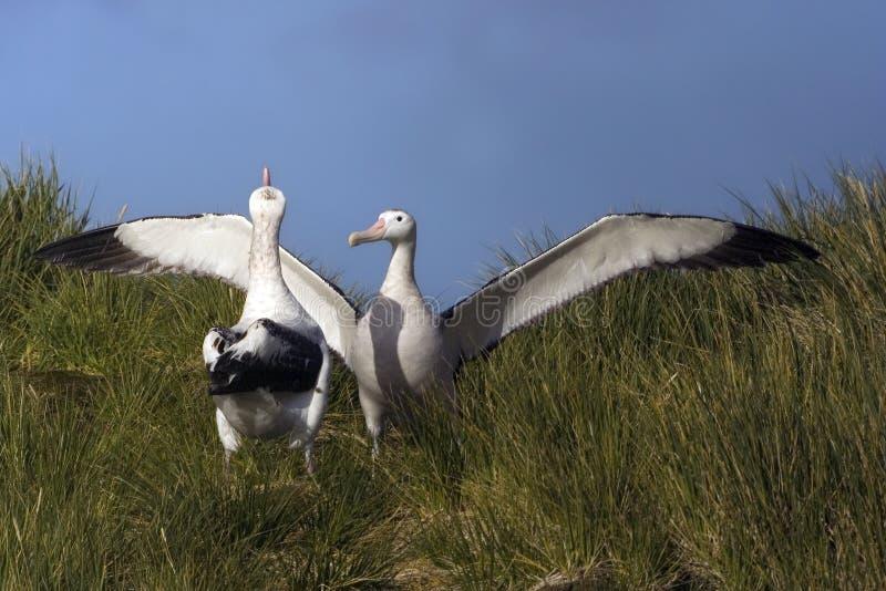 Grote Albatros, snöig (irra) albatross, Diomedea (exulans) arkivfoton