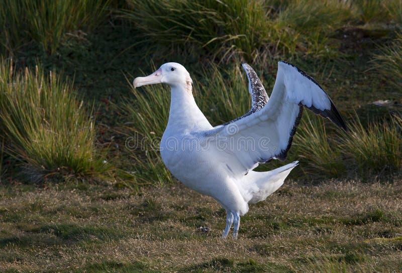 Grote Albatros, snöig (irra) albatross, Diomedea (exulans) fotografering för bildbyråer