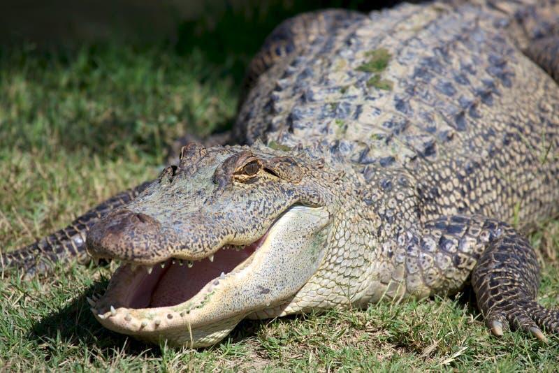 Grote Alligator stock afbeeldingen