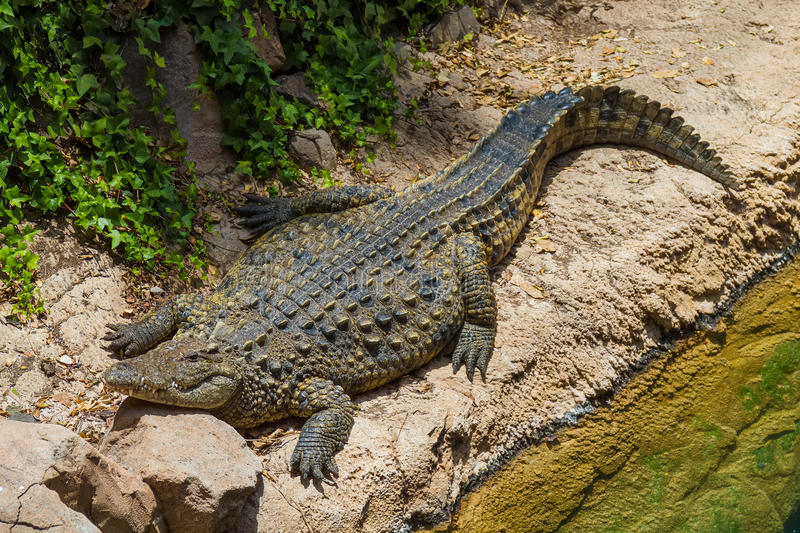 Grote Alligator stock foto's