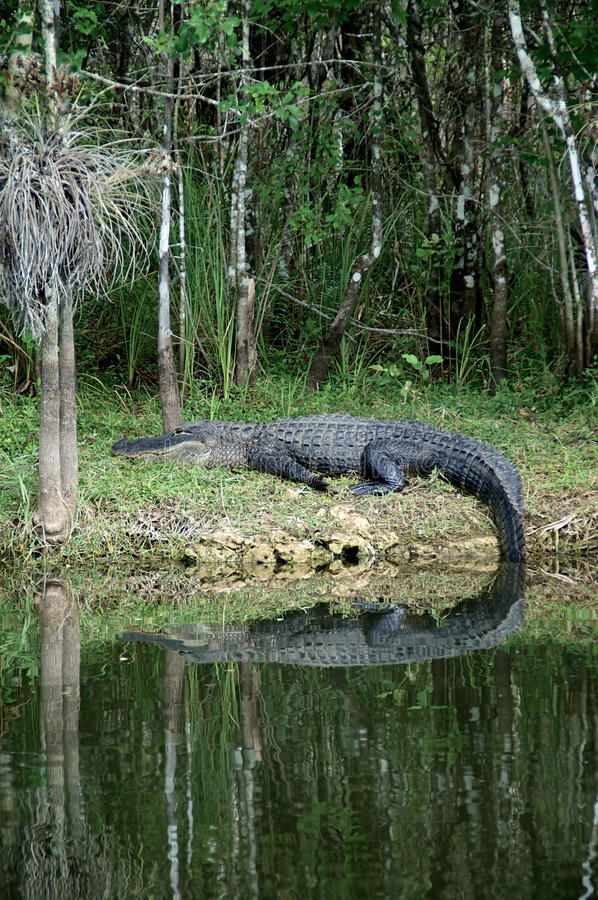 Grote Alligator onbeweeglijk op riverbank royalty-vrije stock foto