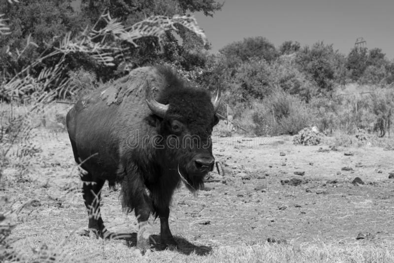 Grote Amerikaanse Bizon of Buffels die in zwart-wit lopen stock foto
