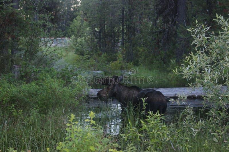 Grote Amerikaanse elanden dichtbij het meer stock foto