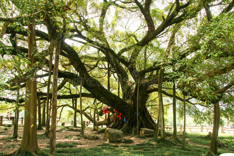 Grote banyan boom in guilin, China stock afbeeldingen
