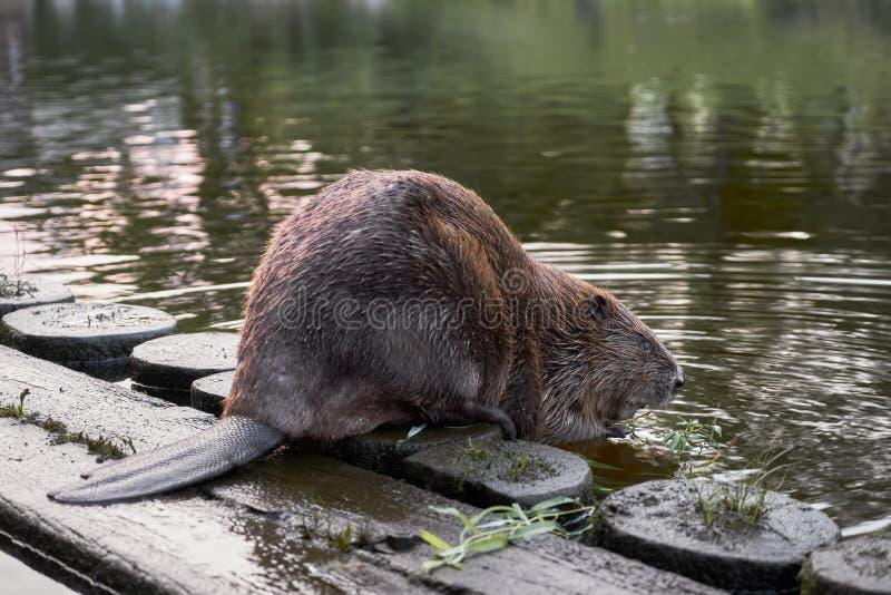 Grote bever in rivier het knagen aan op een tak Letland, Riga royalty-vrije stock fotografie