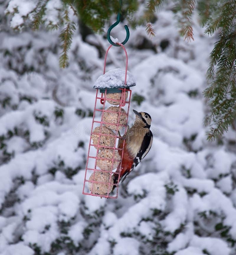 Grote Bevlekte Specht in sneeuw royalty-vrije stock foto's