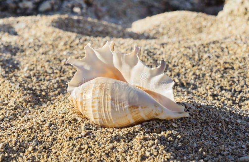 Grote bevlekte zeeschelp die op het zand liggen royalty-vrije stock foto