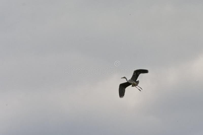 Grote blauwe reiger die op een bewolkte hemel vliegen royalty-vrije stock afbeeldingen