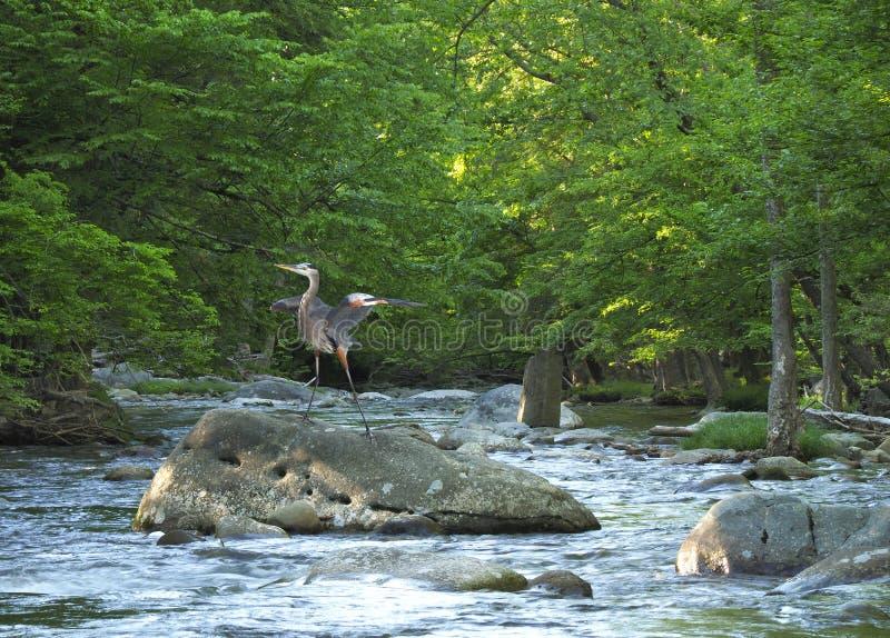 Grote Blauwe Reiger die op een Kei in het Kleine de Bergen Nationale Park van Rivier Grote Smokies landen royalty-vrije stock foto's