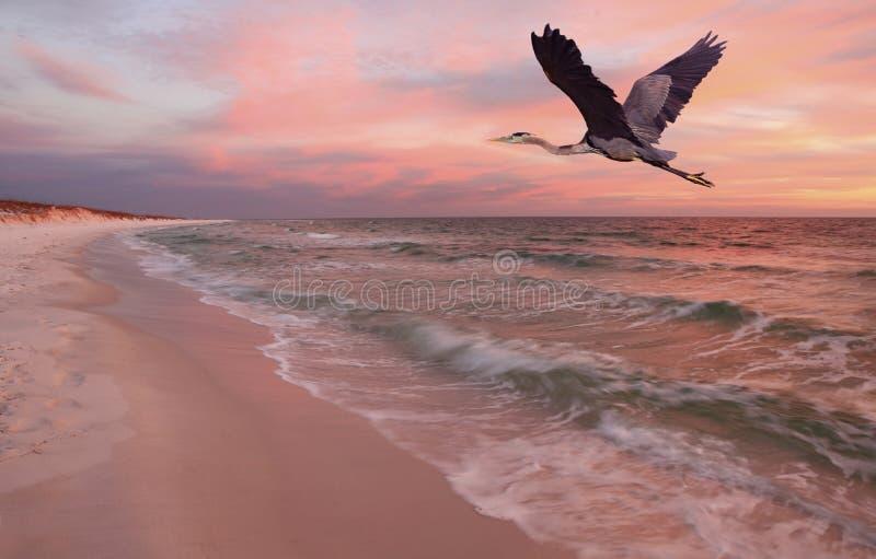 Grote Blauwe Reiger die over Strand bij Zonsondergang vliegen royalty-vrije stock foto