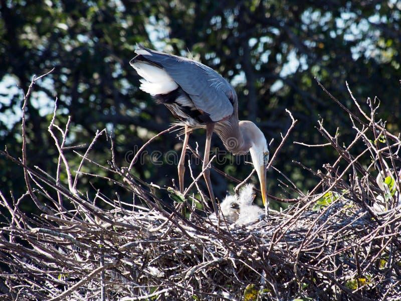 Grote Blauwe Reiger met Babys in Nest stock afbeelding