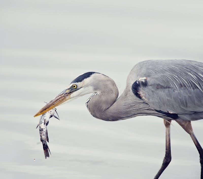 Grote Blauwe Reiger met een Vis stock afbeelding