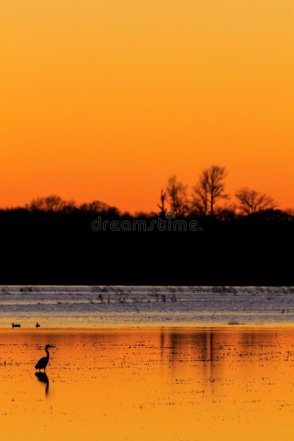 Grote Blauwe Reiger met eenden op de achtergrond die zich in overstroomd padieveld bevinden dat zoals jachtgebied tijdens eendsei stock fotografie