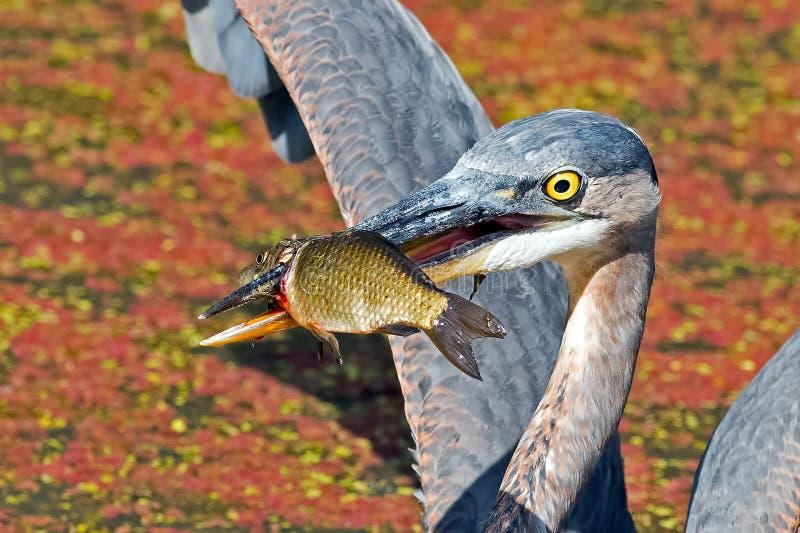 Grote Blauwe Reiger met Vissen stock foto's
