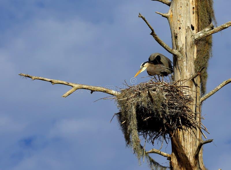 Grote Blauwe Reiger op Nest stock fotografie