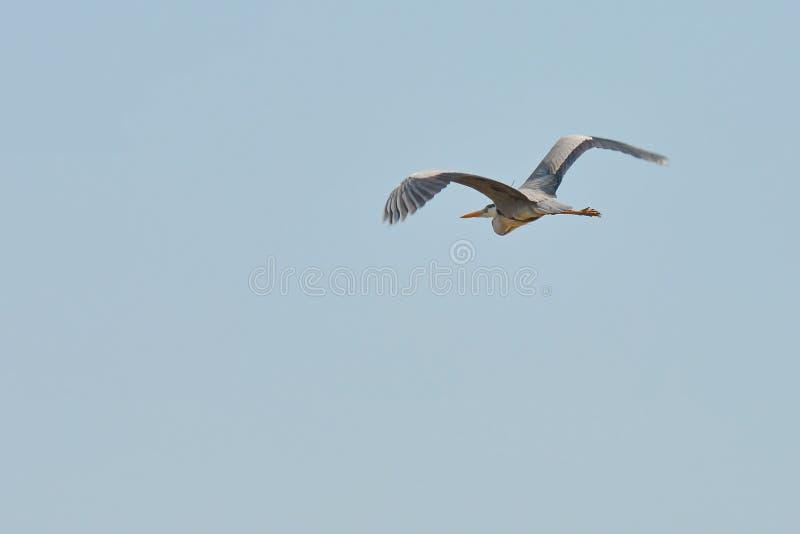 Download Grote Blauwe Reiger Tijdens De Vlucht Stock Afbeelding - Afbeelding bestaande uit dalingen, dier: 54084089