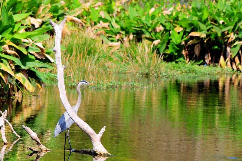Grote blauwe reiger in water stock afbeeldingen