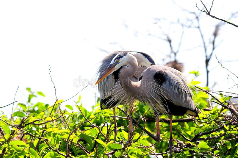 Grote Blauwe Reigers in boom, Florida stock afbeelding