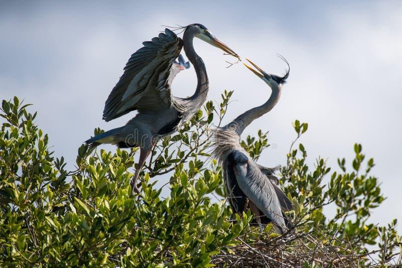 Grote Blauwe Reigers die een Nest bouwen stock foto