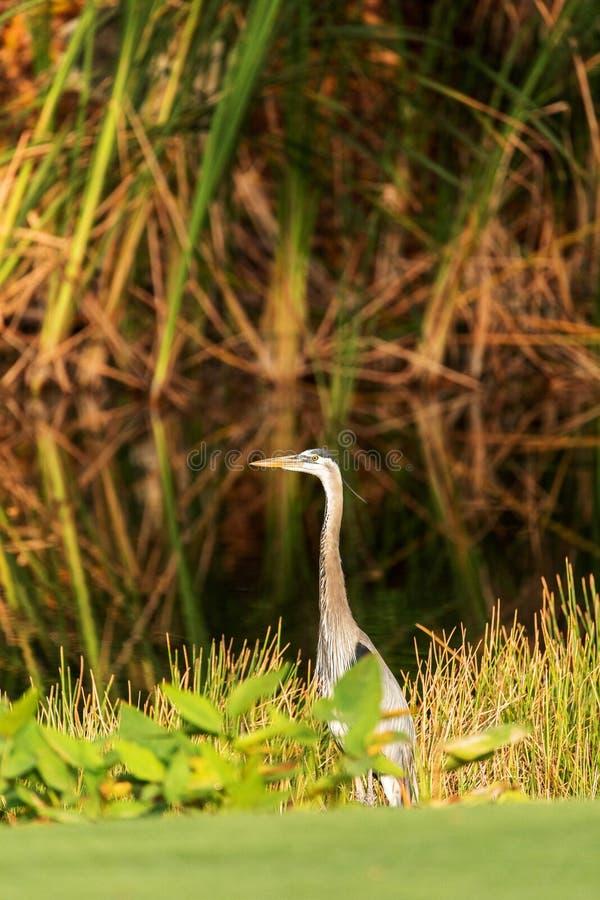 Grote blauwe reigervogel, Ardea-herodias, in de wildernis, die in een moeras in Fred C voederen babcock stock foto