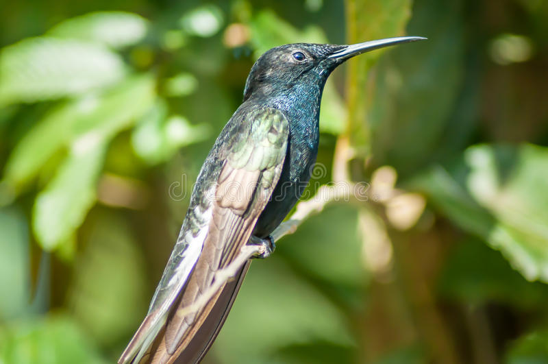 Grote Blauwgroene Kolibrie op tak stock fotografie