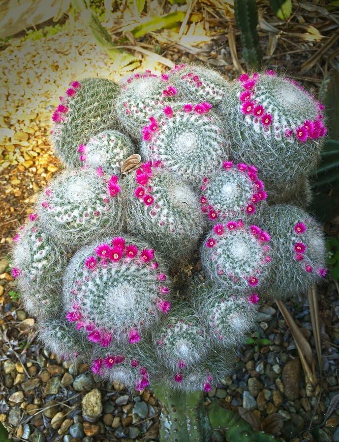 Grote bloeiende oude damecactus, mamillariakroon van roze uiterst kleine bloemen stock foto's