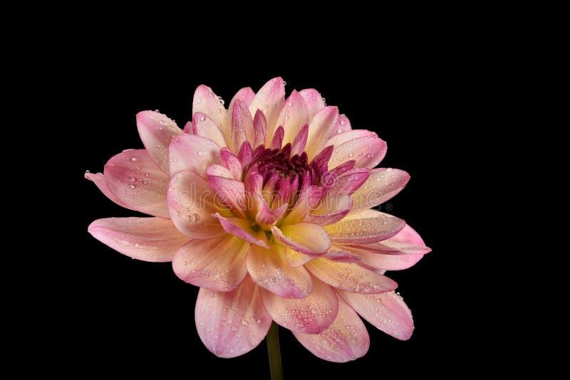 Grote bloem van een de zomerdahlia met pastelkleur roze grote bloemblaadjes royalty-vrije stock afbeeldingen