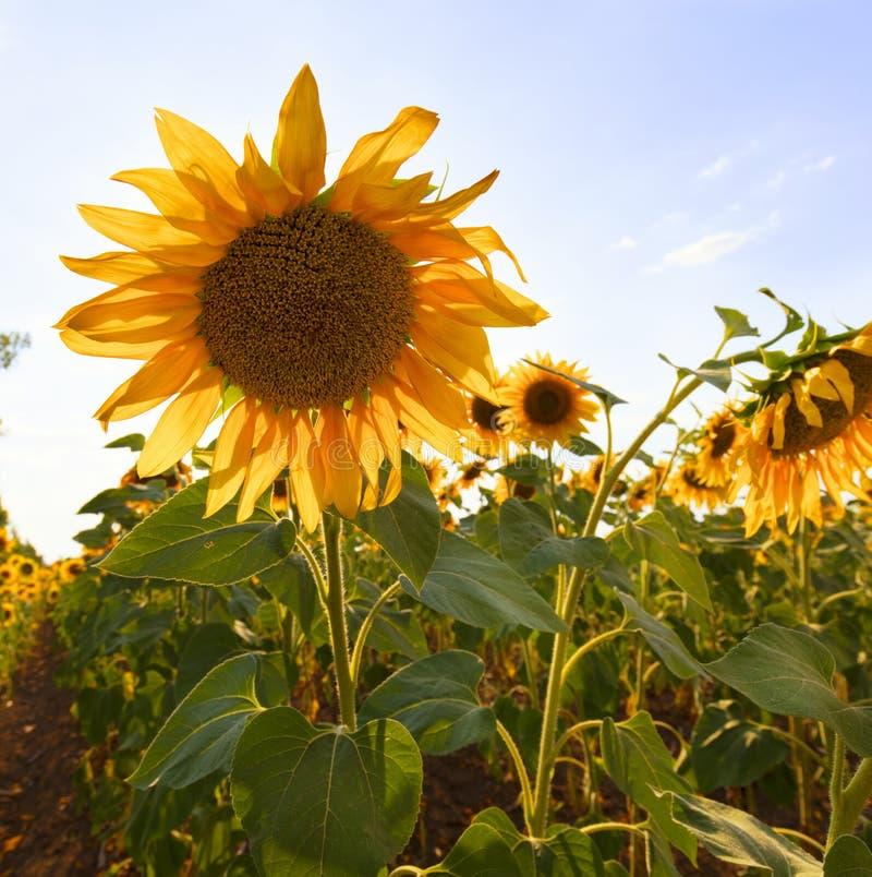 Grote bloem van een zonnebloem tegen het blauwe hemelclose-up royalty-vrije stock afbeelding