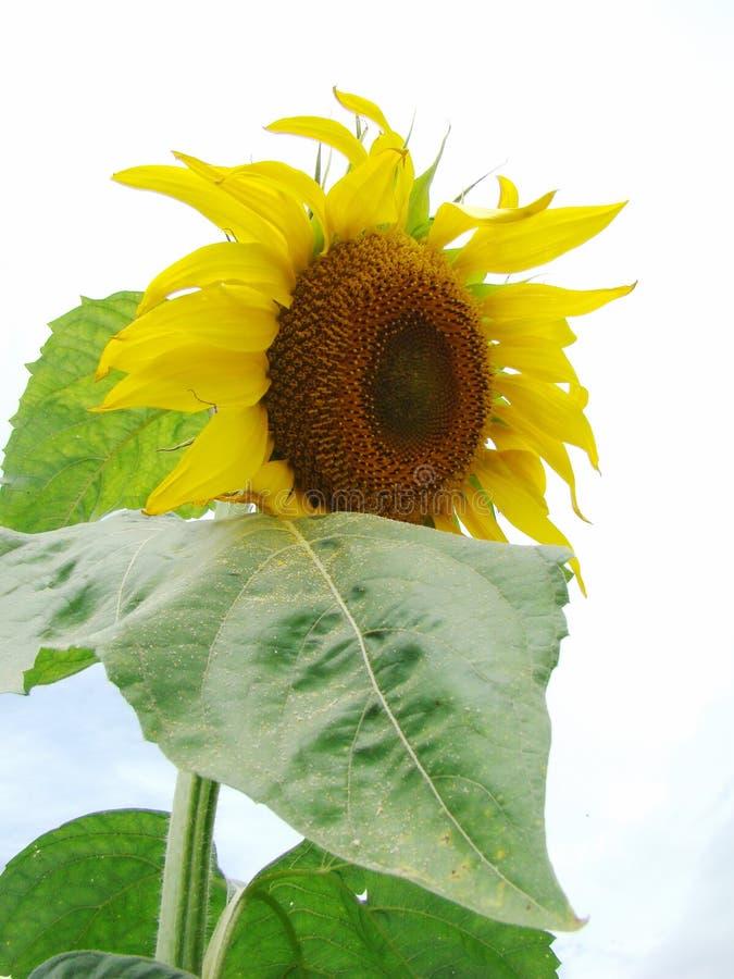 Grote bloem van zonnebloem stock foto