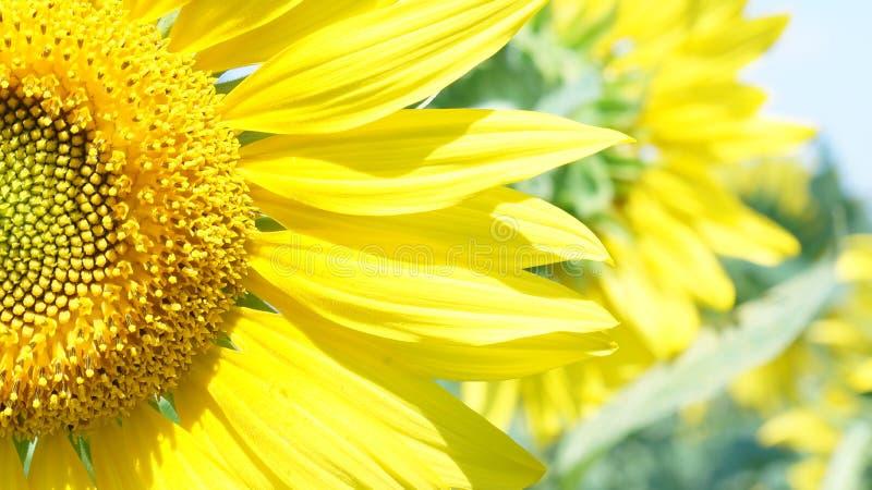 Grote bloem van zonnebloem stock afbeeldingen