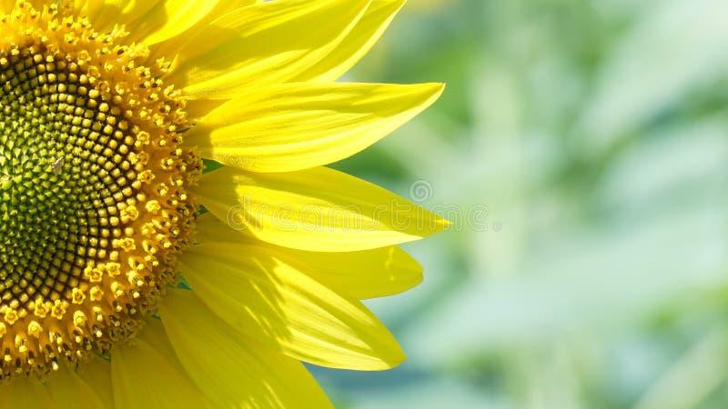 Grote bloem van zonnebloem royalty-vrije stock afbeeldingen