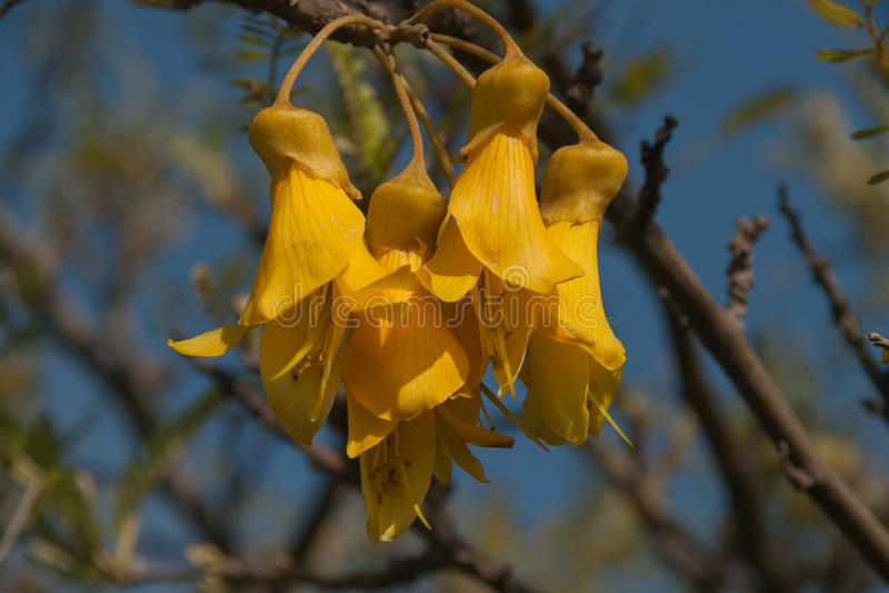 Grote bloemen gele acacia stock afbeelding