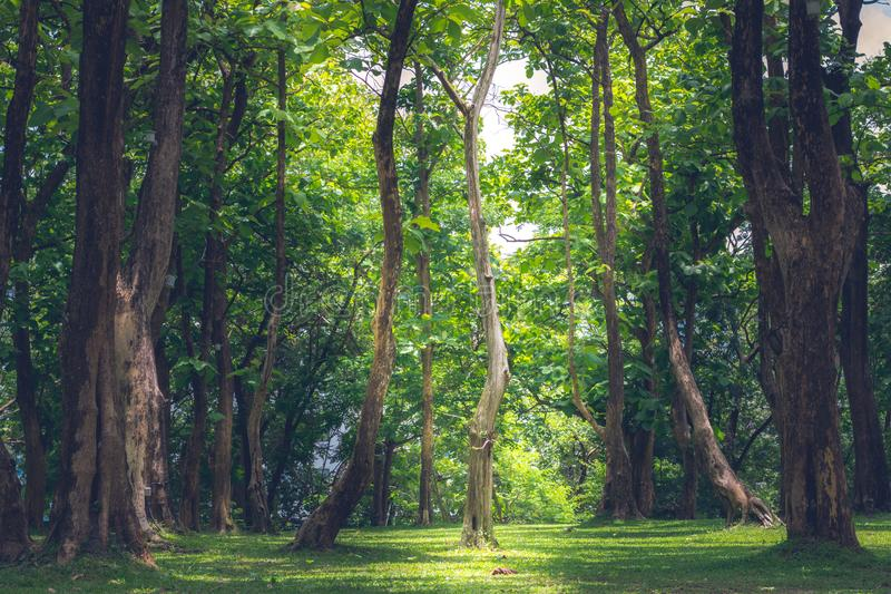 Grote Bomen in het Bos stock afbeelding