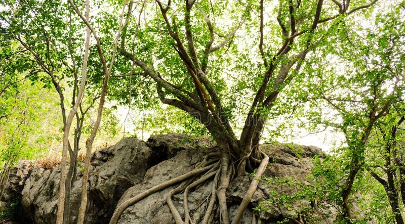 Grote bomen op stenen royalty-vrije stock fotografie