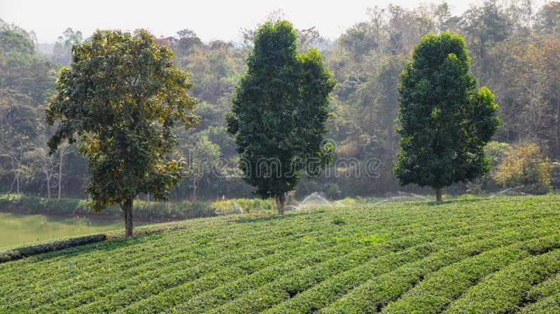 Grote bomen in theeaanplanting royalty-vrije stock fotografie