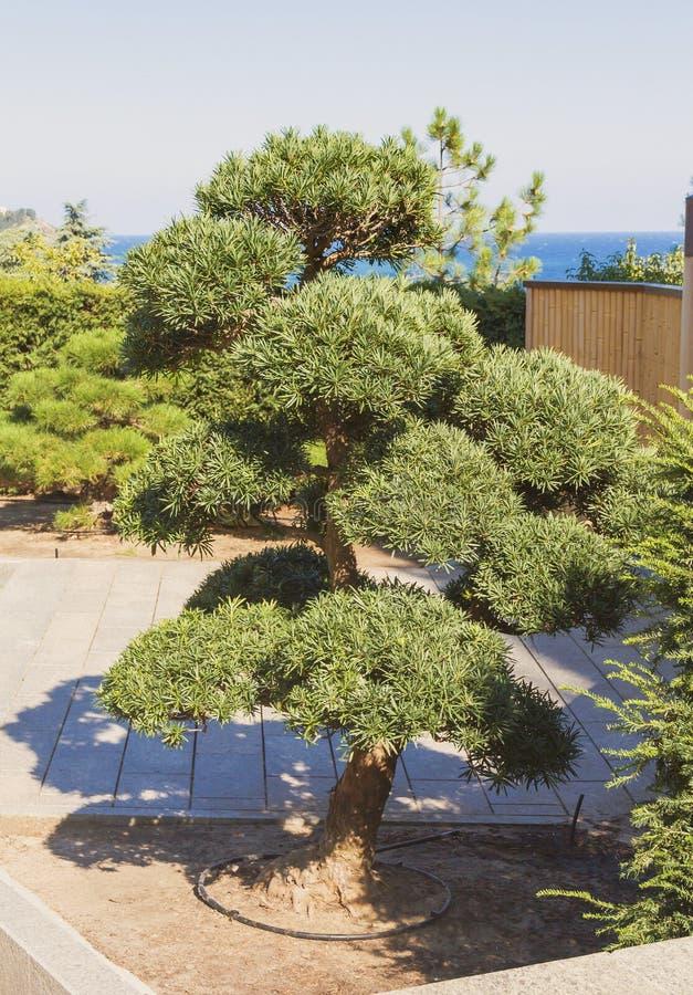 Grote Bonsaiboom in het Park crimea royalty-vrije stock foto's