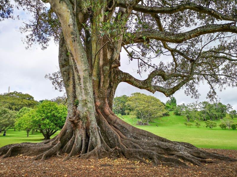 Grote boom in Cornwall park Auckland, royalty-vrije stock fotografie